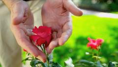 Senior Ethnic Hands Tending Flower Bushes - stock footage
