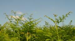 Ferns wind blue sky Stock Footage