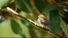 Young sparrow Stock Footage