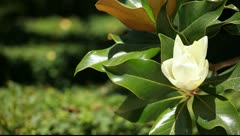 Magnificent Magnolia Tree in Spring - stock footage