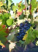 Wine Grapes Sonoma County - stock photo