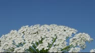 Stock Video Footage of Blossoms of hogweed.