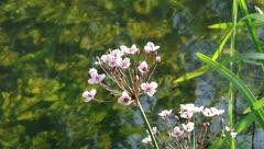 Flowering rush (Butomus umbellatus) - stock footage