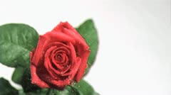 Rain in super slow motion falling on a rose Stock Footage