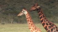Colorful Giraffe Close Up in Lake Nakuru Stock Footage