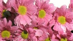 Stock Video Footage of Rain in super slow motion falling on pink chrysanthemum