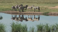 Zebra on the Edge of a Pond Stock Footage