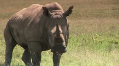 White Rhino Staring Me Down - stock footage