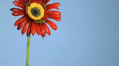 Red gerbera in super slow motion being soaked Stock Footage