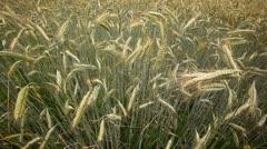 Field of cornflower Stock Footage