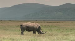 White Rhino Eating in Africa Stock Footage