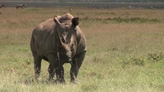 White Rhino Eating with Zebra in Background Stock Footage