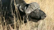 African buffalo bull Stock Footage