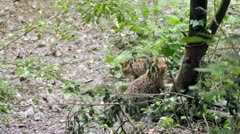 Wild cat (Felis silvestris) cubs playing on a tree - Part 4 of 4 Stock Footage