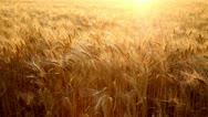 Wheat field Stock Footage