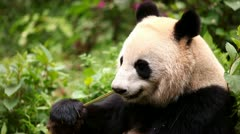Giant panda eating bamboo Stock Footage