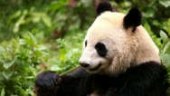 Stock Video Footage of Giant panda eating bamboo