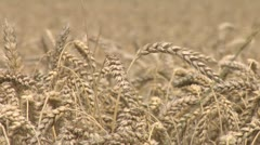 wheat detail - stock footage