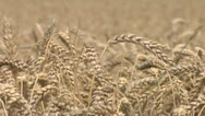 Stock Video Footage of wheat detail