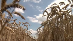 Through wheat Stock Footage