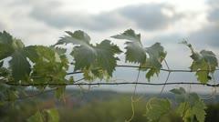 Leaf Vine - stock footage