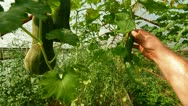 Gardener Picking Cucumber Stock Footage