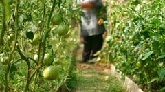 Gardener in Vegetable Greenhouse Stock Footage