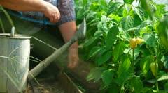 Gardener watering bell pepper in vegetable garden Stock Footage