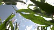 Through corn 1 Stock Footage
