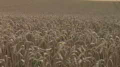 Sun rolls over wheat 3 Stock Footage