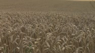 Stock Video Footage of sun rolls over wheat 3