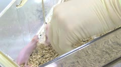 Laboratory mouse Stock Footage