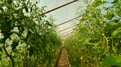 DOLLY: Tomatoes Greenhouse - stock footage
