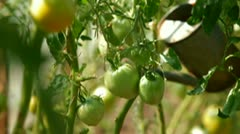 Tomatoes Growing in Greenhouse Stock Footage