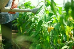 Stock Video Footage of Bell Pepper Growing in a Garden