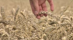 pick up some wheat 1 - stock footage
