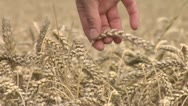 Stock Video Footage of pick up some wheat 1