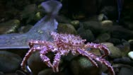 Stock Video Footage of king crab moving