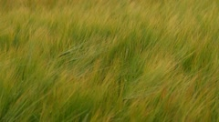 Barley on a windy field Stock Footage