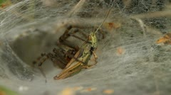 Labyrinth spider - Agelena labyrinthica, with a grasshopper Stock Footage