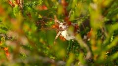 Nursery web spider with eggsac Stock Footage