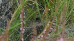 Labyrinth spider - Agelena labyrinthica Stock Footage
