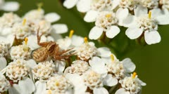 Crab spider on a flower Stock Footage