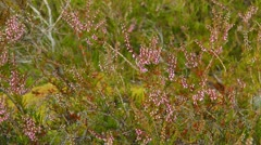 Heather in bloom Stock Footage
