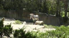 San Diego Zoo 24 zebra Stock Footage