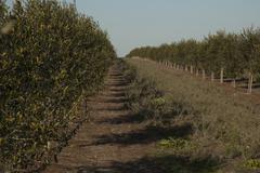 olive field tree - stock photo