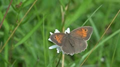 Meadow Brown butterfly Stock Footage