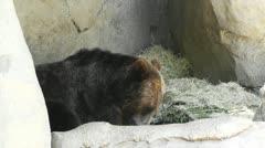 San Diego Zoo 43 brown bear Stock Footage