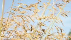 Wheat Field 3 - stock footage