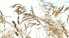 Wheat Field 4 - stock footage
